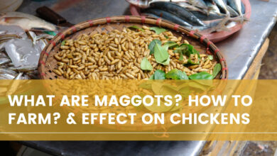 Photo of What Are Maggots? How To Farm? & Effect on Chickens