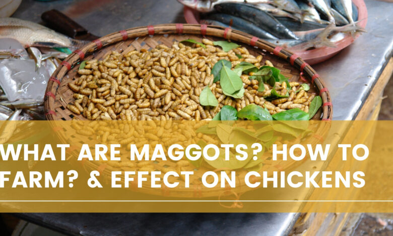 What Are Maggots? How To Farm? & Effect on Chickens